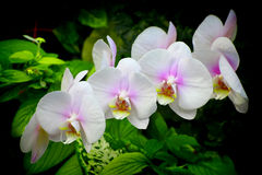White and pink phalaenopsis orchids Stock Photo