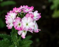 White and pink phlox Royalty Free Stock Photo