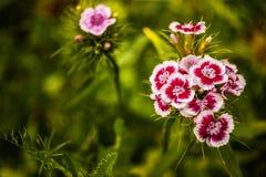 White and pink phlox. Macro of phlox in his environment Stock Photo