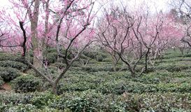 White and Pink Plum Blossom Trees. A line of white and pink plum blossom trees planted in the park stock images