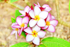 White and pink plumeria Royalty Free Stock Image