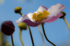 White and pink poppy Stock Photos