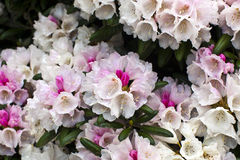 White and pink rhododendron flowers close-up. Stock Images