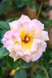 White pink rose Stock Image