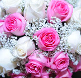 White and pink rose Royalty Free Stock Photos