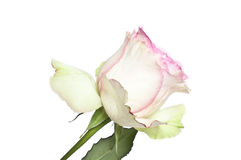 White and pink rose Royalty Free Stock Photography