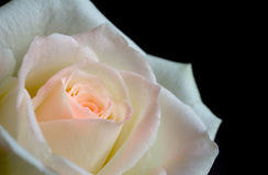 White and pink rose Royalty Free Stock Images