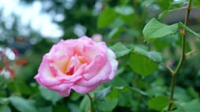 White-pink rose close-up on a green background. White-pink rose close-up on a green background stock video footage