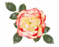 White,pink rose flower,isolated on white background. White,pink rose flower, isolated on white background Royalty Free Stock Photography