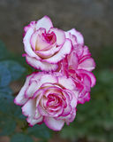 White & pink rose flowers closeup Stock Images