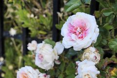 Pink and white rose. White and pink rose in the foreground with a garden background and more flowers out of focus resting on a black fence royalty free stock photos