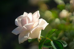 White and pink rose at the garden Royalty Free Stock Image