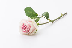 White and pink rose Stock Photo