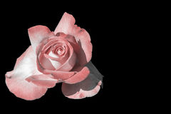 White and pink rose isolated on black Stock Photos