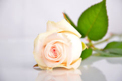 White-pink rose lays. One white rose bud rests on a glass surface Royalty Free Stock Photo