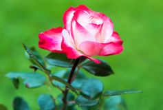 White and Pink rose on the natural green background Stock Photos
