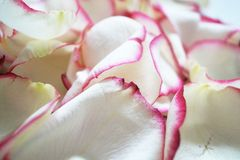White and pink rose petals. A lot of white and pink rose petals stock photo