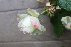 White and pink rose after the rain with water droplets royalty free stock photos