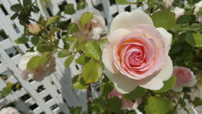 White and Pink Rose on the right. White pink rose is beautiful Stock Photos