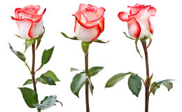 White-pink roses Royalty Free Stock Image