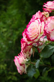 White-pink roses on background of greens. Selective focus, toned image, film effect Royalty Free Stock Image