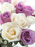 White and pink roses close up. Royalty Free Stock Images