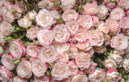 White-pink roses Stock Image