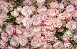 White-pink roses Stock Image