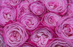 White-pink roses Royalty Free Stock Images
