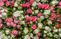 White-pink roses Stock Images