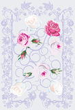 White and pink roses on violet Stock Image