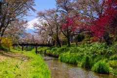 Oshino Hakkai village with sakura and Mt. Fuji. White and pink sakura or cherry blossom around the canal at Oshino Hakkai village with Mt. Fuji background during Royalty Free Stock Photography