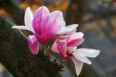 White pink saucer Magnolia soulangeana flower. Blooming in spring Stock Photography