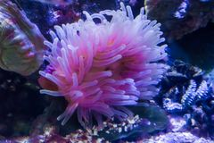 White and pink sea anemone animal flower in an aquatic underwater sea landscape. A white and pink sea anemone animal flower in an aquatic underwater sea royalty free stock images