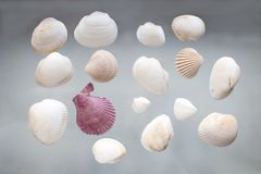 White and pink seashells. A lot of white seashells and one lilac seashell on the glass background Royalty Free Stock Images