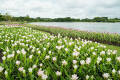 White and Pink Siam Tulip (Patumma) flower garden along the lake Stock Image