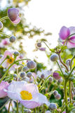 White pink spring flowers,  anemone field Royalty Free Stock Photography