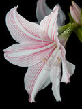 White and pink star lily Royalty Free Stock Image