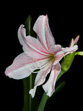 White and pink star lily Stock Image