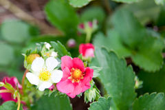 White and Pink Strawberry Blooms Royalty Free Stock Photo