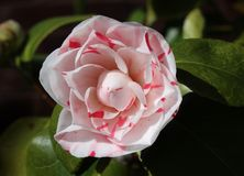 White and Pink Striped Camellia Flower royalty free stock image