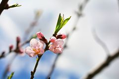 Tree blossoms on sunny spring day. White and pink tree blossoms on sunny day in springtime Royalty Free Stock Images
