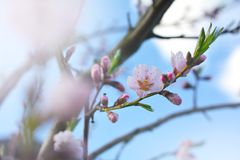 Tree blossoms on sunny spring day. White and pink tree blossoms on sunny day in springtime Stock Image