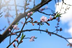 Tree blossoms on sunny spring day. White and pink tree blossoms on sunny day in springtime Royalty Free Stock Photos