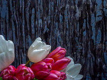 White and pink tulip bunch, landscape orientation Royalty Free Stock Image
