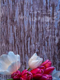 White and pink tulip bunch, portrait orientation with copy space Royalty Free Stock Image