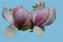 White and pink tulip tree blossoms Stock Photography