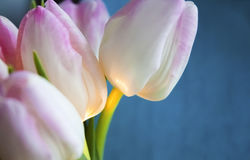 White-pink tulipan on the blue background with yellow light Royalty Free Stock Image
