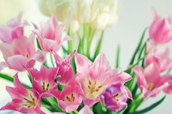 White and pink tulips Stock Image