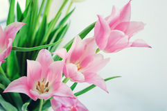 White and pink tulips Royalty Free Stock Images